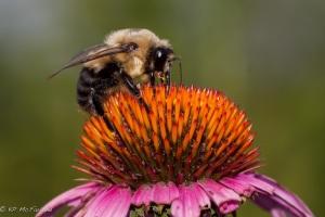 Brown-belted Bumblebee (Bombus griseocollis)